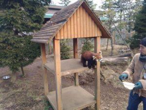 富士サファリパーク レッサーパンダ
