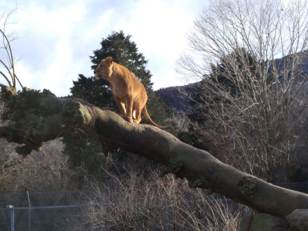 富士サファリパーク ライオン